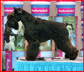 YOUNG CHAMPION of RUSSIA, YOUNG CHAMPION ZWERGSCHNAUZER CLUB of RUSSIA, CHAMPION of RUSSIA, CHAMPION KAZAKHSTAN, CHAMPION ZWERGSCHNAUZER CLUB of RUSSIA, GRANDCHAMPION, CHAMPION RKF 