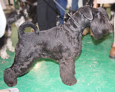 Champion RKF, YOUNG CHAMPION of RUSSIA, CHAMPION of RUSSIA, 3*Best Puppy, 10*�W, 4*JCAC, JCCC, 5*Best Junior, 5*���, CACIB, BISS Junior -1, BIG -2,3