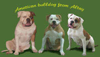 American bulldogs from Altay